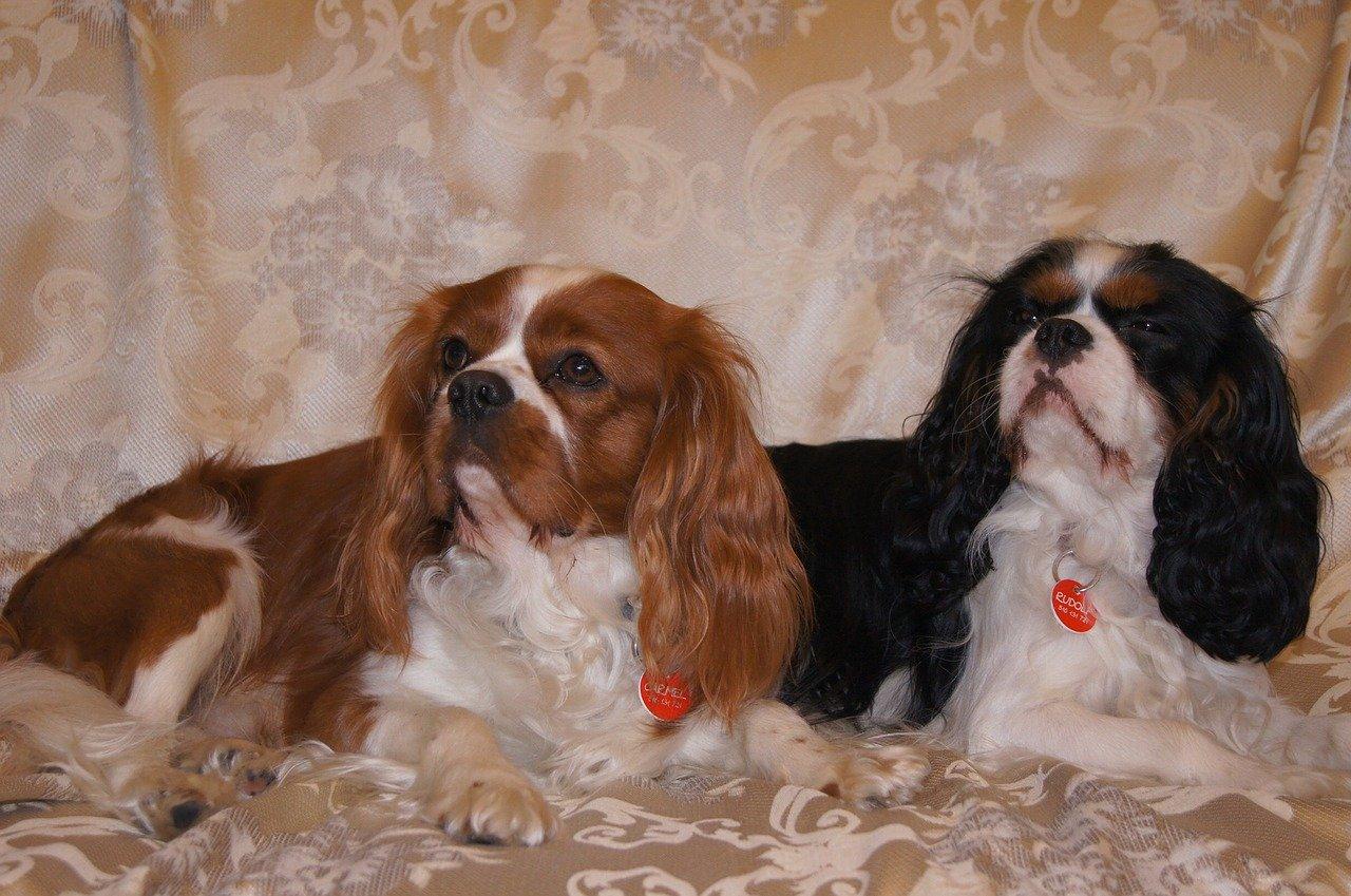 כלבים קינג צ'ארלס
